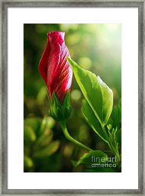 Blooming Flower  Framed Print by Carlos Caetano
