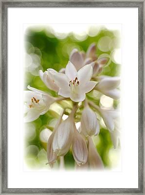 Blooming Hosta Framed Print