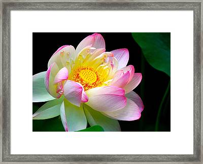 Blooming Lotus Flower Framed Print