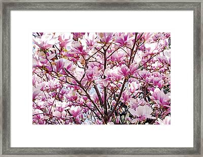 Blooming Magnolia Framed Print by Elena Elisseeva