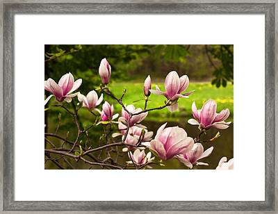 Blooming Magnolia Tree Framed Print