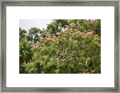 Blooming Mimosatree Framed Print by Linda Phelps