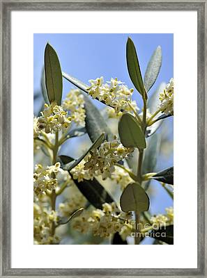 Blooming Olive Tree At Spring Framed Print by Sami Sarkis
