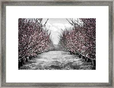 Blooming Peach Orchard Framed Print