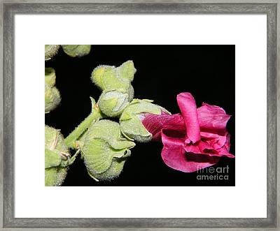 Framed Print featuring the photograph Blooming Pink Hollyhock by Ann E Robson