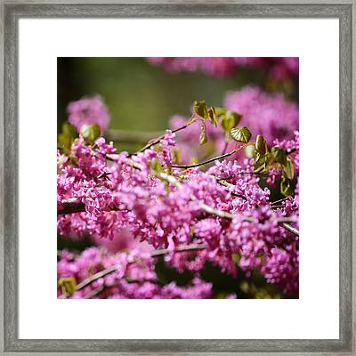 Blooming Redbud Tree Cercis Canadensis Framed Print by Rebecca Sherman
