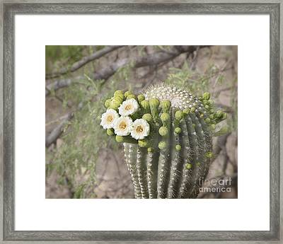 Blooming Saguaro Framed Print