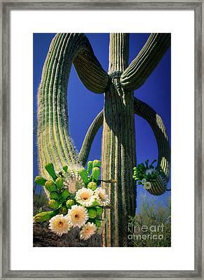 Blooming Saguaro Framed Print by Inge Johnsson