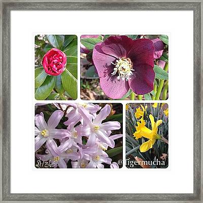 Blooming Today!  #camilla #hellebore Framed Print