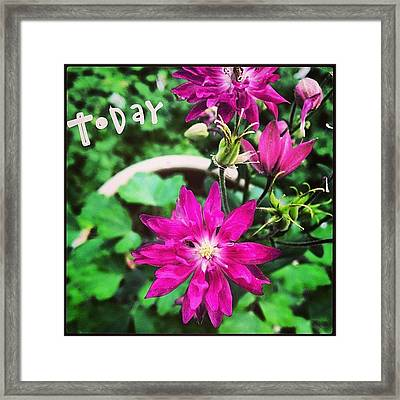 Blooming Today. #columbine  #phonto Framed Print