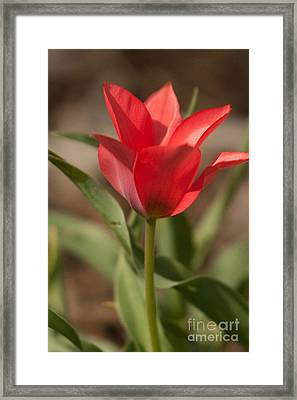 Blooming Tulip Framed Print by Cari Gesch
