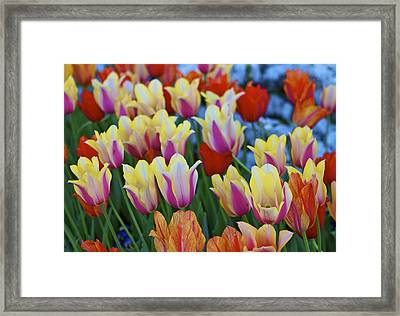 Framed Print featuring the photograph Blooming Tulips by John Babis