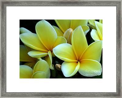 Blooming Yellow Plumeria Framed Print