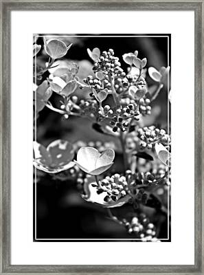Blooms And Berries In Black And White Framed Print by Jp Grace