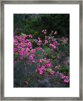 Blooms Of Pink Framed Print by Lezlie Faunce