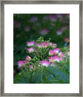 Blooms Of The Mimosa Tree Framed Print