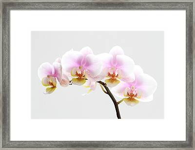Blooms On White Framed Print