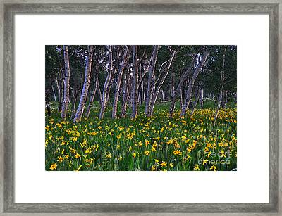 Bloooming Aspens Framed Print
