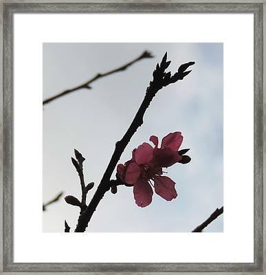 Blossom Against The Sky Framed Print by Ganga Karmokar