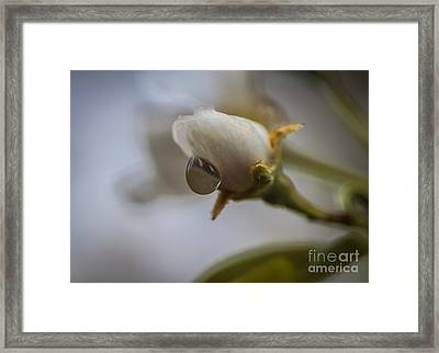 Blossom And Raindrop Framed Print by Mitch Shindelbower