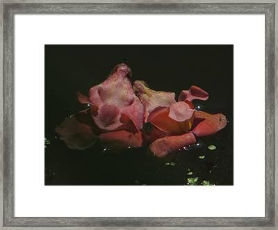 Blossom Rain 24 Framed Print by Georg Kickinger