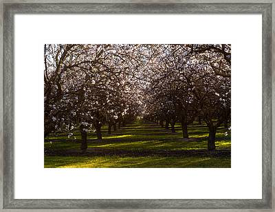 Blossom Tunnel  Framed Print