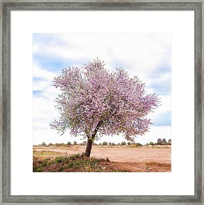 Blossoming Pink Almond Tree Prunus Framed Print by Maika 777