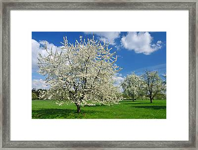 Blossoming Trees In Spring On Green Meadow Framed Print by Matthias Hauser