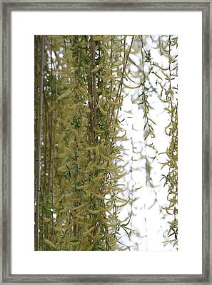 Blossoms Of The Willow 1 Framed Print by Jennifer E Doll