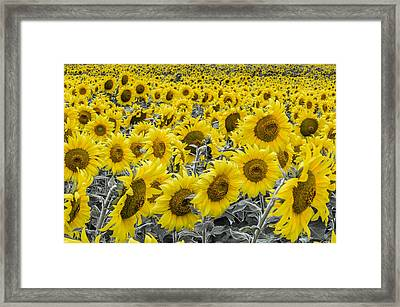 Blossoms Only Sunflowers Framed Print by Thomas Pettengill