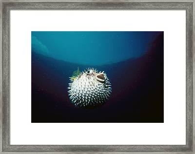 Blotched Pufferfish Framed Print by Jeff Rotman