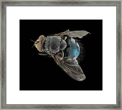Blowfly Framed Print by Us Geological Survey