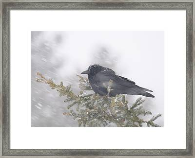 Framed Print featuring the photograph Blowin' In The Wind - Crow by Sandra Updyke