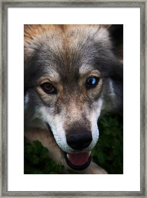 Blue And Brown Eyed Husky - Series II Framed Print