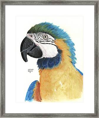 Blue And Gold Macaw Framed Print by Heather Gessell