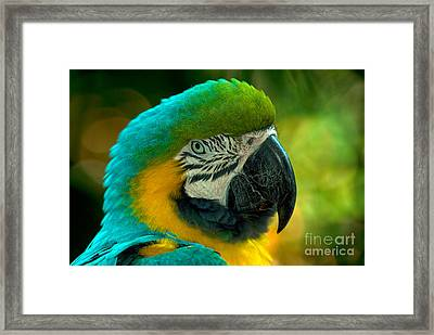 Blue And Gold Macaw Framed Print by Mark Newman