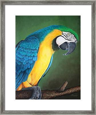 Blue And Gold Macaw Framed Print by Pam Kaur