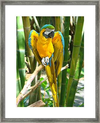 Blue And Gold Macaw Framed Print by Phyllis Beiser