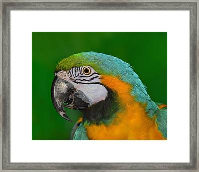 Blue And Gold Macaw Framed Print by Tony Beck
