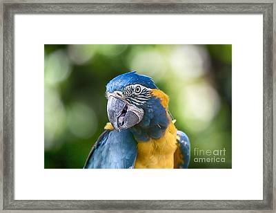 Blue And Gold Macaw V3 Framed Print by Douglas Barnard