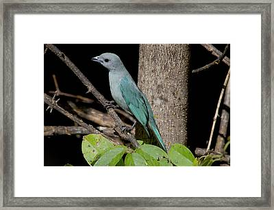 Blue And Grey Sayaca Tanager Framed Print by Jan and Stoney Edwards