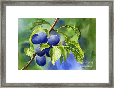 Blue And Purple Damson Plums On A Branch Framed Print