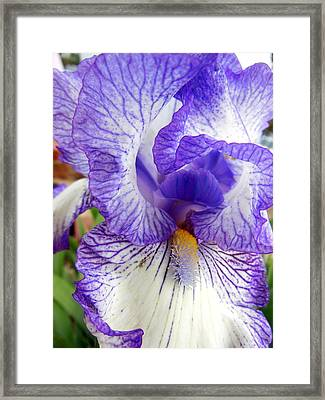 Blue And White Iris Closeup Framed Print by Virginia Forbes