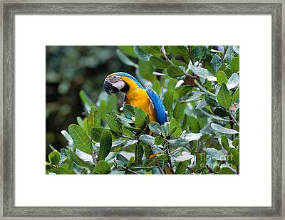 Blue And Yellow Macaw Framed Print by Art Wolfe