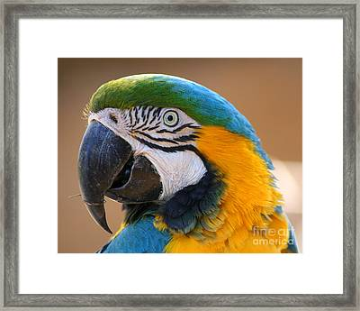 Framed Print featuring the photograph Blue And Yellow Macaw by Bob and Jan Shriner