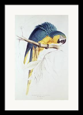 Macrocercus Ararauna Framed Prints