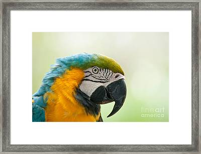 Blue-and-yellow Macaw Framed Print by Mark Newman
