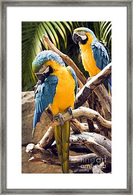 Blue And Yellow Macaw Pair Framed Print
