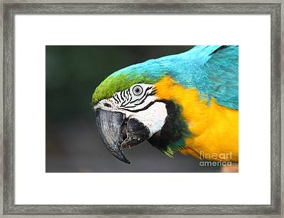 Blue And Yellow Macaw Portrait Framed Print by James Brunker