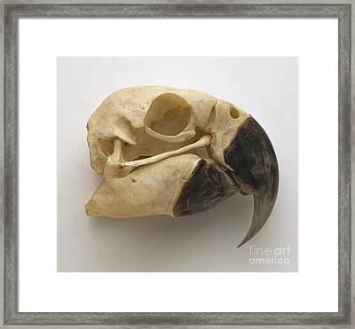 Blue And Yellow Macaw Skull Framed Print by Dave King / Dorling Kindersley